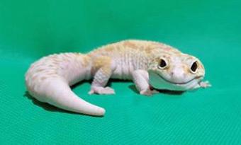 レオパ,尻尾,太さ,細い,画像
