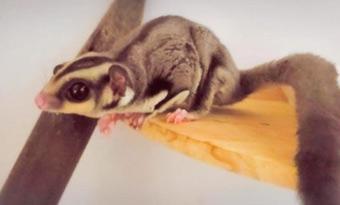 フクロモモンガが尻尾をくねくね,丸める,伸ばす,意味,画像1