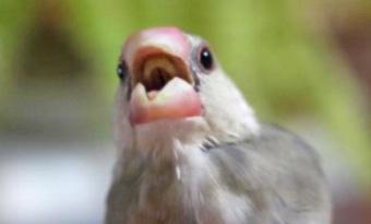 文鳥,換羽期,元気ない,寝る,イライラ,噛む,画像2