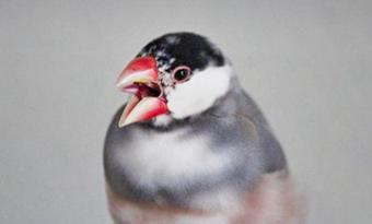 文鳥,噛む理由,噛む時期,痛い,噛み癖,画像1
