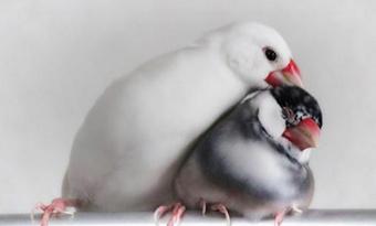 文鳥,羽繕い,意味,多い,画像2