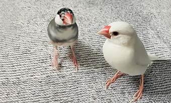 荒鳥,文鳥,手乗りにするには,手乗り崩れ,画像2