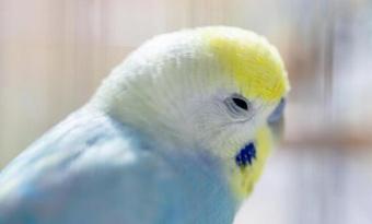 インコ,背中に顔をうずめる,後ろ向いて寝る,理由,画像2
