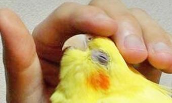 インコ,頭を上下,振る,理由,頭を下げる,画像2