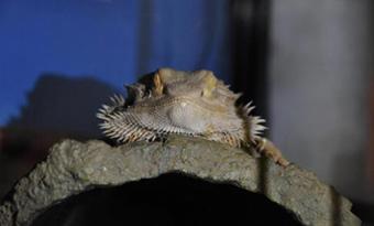 フトアゴヒゲトカゲ,寝る時間,寝る場所,画像