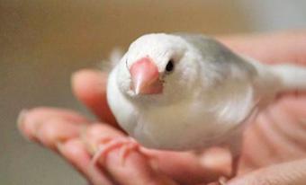 文鳥,撫で方,撫でる場所,口を開ける,撫でると鳴く,画像1