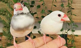 文鳥,嘴,擦る,カチカチ,鳴らす,オス,メス,愛情表現,画像1