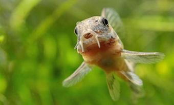 コリドラス,水面に上がる,水面ダッシュ,パクパク,画像2